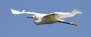 Snowy Egret Fly-By 2