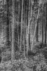 finnish forest (sami kuosmanen) Tags: finland forest flash suomi summer mets mustavalko tree tuulos trees creative valo valotus luonto light nature north exposure europe intentionalcameramovement icm