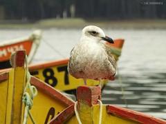 Gaviota juvenil, Puerto Saavedra - Chile (chrishenrquez) Tags: gaviota gaviotajuvenil aves ave gaviotas ro puerto puertosaavedra fujifilms4200 finepixs4200