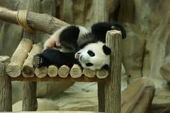 Nuan Nuan (暖暖) 2016-06-17 (kuromimi64) Tags: zoonegara malaysia マレーシア 動物園 zoo nationalzoo zoonegaramalaysia kualalumpur クアラルンプール bear クマ 熊 panda giantpanda パンダ ジャイアントパンダ 熊猫 大熊猫 nuannuan 暖暖