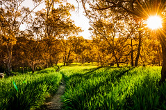 Green and Gold (Richard Mart1n) Tags: green gold australia aussie western warm sunset sunrise olympics olympic graas grass yellow landscape abstract trees tree