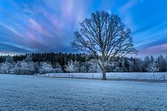 White Trees (Peter Vestin) Tags: nikondf sigma35mmf14dghsmart siruin3204x siruik30x adobecreativecloudphotography alster karlstad vrmland sweden nature landscape tree sunset winter