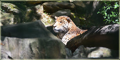 Zoo de Beauval (gillyan9) Tags: animal flin panthre zoo beauval