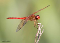 Needham's Skimmer (sbuckinghamnj) Tags: needhamsskimmer skimmer meadowlands dragonfly odonate millcreekmarsh newjersey