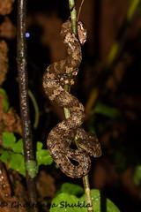 Trimeresurus malabaricus (19) (Chaitanya Shukla) Tags: amboli amboli201607 macro maharashtra malabarpitviper reptilesandamphibiansofindia sindhudurga snakesofindia trimeresurusmalabaricus viperidae vipers kegad india in