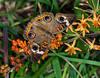 Buckeye (ScreaminScott) Tags: butterfly buckeyebutterfly butterflyweed