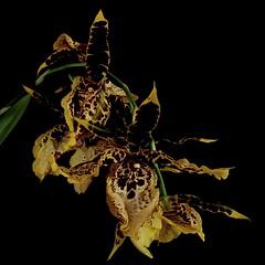 Cambria hibrid. (Jess 56) Tags: orchide orchid orqudea orkid orchids orchidaceae orchides orqudeas orqudia orqudies bulaklak flower  fleur flor fiore    iek flors flores flowers fleurs fiori blumen