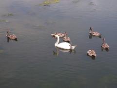 Swans and Cygnets (1) (girdergibbon) Tags: isleofwight wildlife swans cygnets
