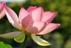 Indische Lotosblume (Nelumbo nucifera) (to.wi) Tags: indischelotosblume nelumbonucifera lotosblume lotusblume lotos lotus blume flower towi wilhelma
