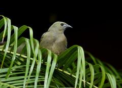 Palm Tanager ---Thraupis palmarum (creaturesnapper) Tags: borinquenmountainresort costarica rincondelavieja birds tanagers palmtanager