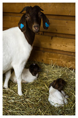 Proud Mother (Eline Lyng) Tags: indoor barn newborn goat boergoats motherhood leica leicas 007 summarits70mm 70mm bokeh dof animal farm farmanimals portrait animalportrait