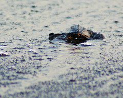Inicio / Begin (drlopezfranco) Tags: guatemala santarosa monterrico playa beach turtle tortuga seaturtle tortugamarina cra baby sand arena pacific pacifico ocean oceano reptil reptile
