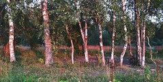 """This has been our """"internet hotspot"""" for the last month. Also good for picking mushrooms. .. Birches Trees Evening Light Silver Birch Wood Russia    . ..    at    (Almena14) Tags: birches trees evening light silverbirch wood russia"""