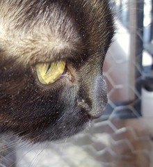 Boo (space_child) Tags: catlover crazycatlady sweetface blackcat furrybaby closeup macro boo eyes sunnyday longing simplybeautiful beautifulcreatures cat