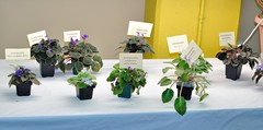 African Violet Species Display (MJI Photos (Mary J. I.)) Tags: avsminnesota avsm africanviolet africanvioletsociety flowers statefair mn minnesota minnesotastatefair2016 flowershow blooming houseplants show plants plantshow twincitiesgesneriads gesneriads saintpaulia gesneriad statefairfriday dsc4067