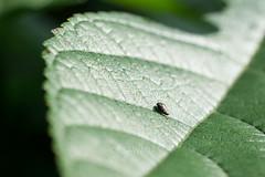 Tracys broussonetiae (kenta_sawada6469) Tags: nature macro japan insect insects coleoptera jewelbeetle jewel beetle beetles buprestidae green bug bugs wildlife