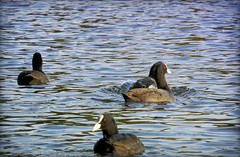 looking.back (C.Kalk DigitaLPhotoS) Tags: vogel bird wasservogel tier animal blsshuhn blshuhn coot see lake wasser water natur nature outdoor fauna