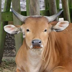 Some say that there's wiser eating grass. (davygenney) Tags: bovine cow edinburghzoo edinburgh scotland