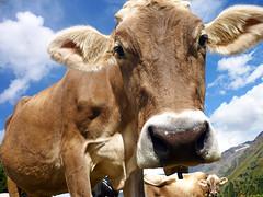 occhi dolci (maxlancio) Tags: mucca vacca cow vaca vache valmartello valle martello valvenosto venosta altoadige sudtirol montagna alpeggio occhio occhi espressivi dolci sguardo bovino