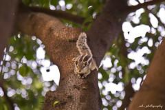 Squirrel (Ashbel Sultan 26) Tags: squirrel squirel lahore animal photography ash ashbel wildlife lums pakistan
