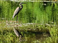Save me now (Lojones13) Tags: reflection outdoor greatblueheron bird park wildlife tibbetsbrookpark yonkers newyork