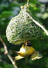 Peek-a-boo (paulinuk99999 - just no time :() Tags: paulinuk99999 bird yellow upside down nest sal70400g south africa pretoria