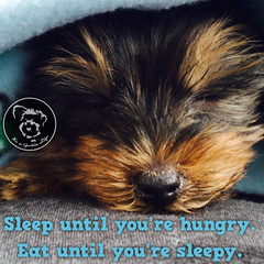 Live life full out (itsayorkielife) Tags: yorkiememe yorkie yorkshireterrier quote