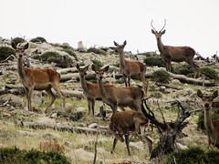 A whole family of deer. ( ) Tags: deer parnitha greece nature landscape mountain herd