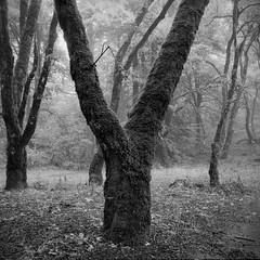 Y Oak (hbphototeach) Tags: skylineopenspacepreserve losaltos bayarea california oak oaktrees blackandwhite blackandwhitephotography film fog mediumformat bronicags1 landscape landscapephotography outdoorphotography naturephotography