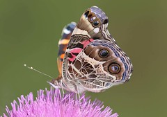 American Painted Lady (DrPhotoMoto) Tags: thistle ngc northcarolina richmondcounty vanessavirginiensis