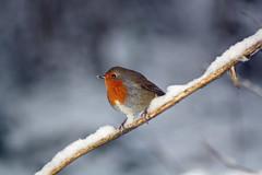 Birrrrrd (Dickie-Dai-Do) Tags: christmas winter snow bird robin card