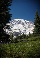 paradise trails (souk1501) Tags: usa snow flower nature d50 landscape washington nikon mt hiking hike glacier mountrainiernationalpark bloom wa wildflower paradisetrail