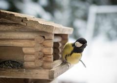"""Excuse me sir. I think I ordered cracked corn seeds..?"" (Ilkka Hakamäki) Tags: winter bird 35mm suomi finland nikon feeding wildlife seed nikkor greattit lintu 18g talitiainen d3100"