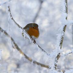 Winter postcard (Sylviane Moss) Tags: winter snow bird robin canon suffolk frost hoarfrost 7d swt lackfordlakes