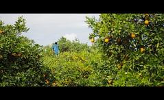 (Nicholas Oliver) Tags: trees sunshine fruit truck canon 50mm bright florida juice oranges groves 60d