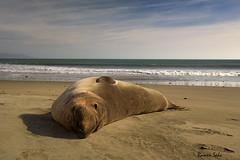 The Sand-mate (Explored) (Ramen Saha) Tags: wildlife seal marinemammal elephantseal pointreyesnationalseashore miroungaangustirostris northernelephantseal maleelephantseal ramensaha