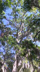 Tree canopy Rothenbach Park (Sarasota County) Tags: