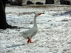 The Lady of the Snow (clyde7995) Tags: winter white snow lady goose mothergoose icapture willowbrookpark naturethroughthelens redcarpethalloffame rememberthatmomentlevel1 bestofredcarpethalloffame