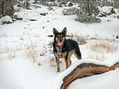 Frikka Finishes First Sand Creek Walk (Bob Palin) Tags: winter 15fav usa dog snow cold utah february winterbeauty catahoula 100vistas instantfave orig:file=20130208elph310hs30481000