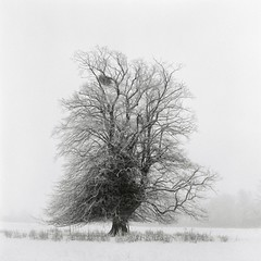 Tree (martinfowlie) Tags: blackandwhite tree 6x6 film monochrome mediumformat hp5 ilford yashicamat124g