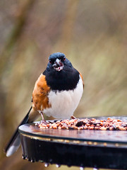 Mouthful (TnOlyShooter) Tags: bird table eating seed feeder feed towhee mouthful nspp