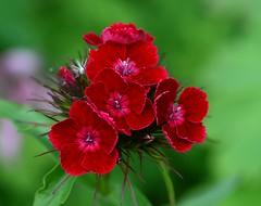 Dianthus (Liisamaria) Tags: ngc