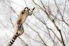 Ring tailed lemur (floridapfe) Tags: animal zoo nikon korea ring lemur tailed everland ringtailedlemur