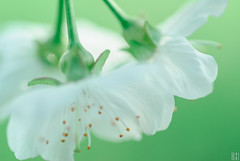 sweet cherry blossom (gregor H) Tags: light white tree green nature closeup garden cherry three spring cool soft close blossom bokeh fresh fragile