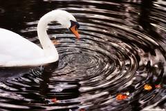 Chopin: Preludes op.28 / No.  19 (Vlachbild) Tags: bird water animal germany swan waterdrop europe daily environment chopin trier rhinelandpalatinate nellspark sonystf135mmf28t45 sonyslta65