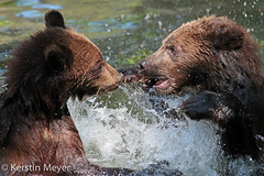 playing or fighting? (kerstin_meyer) Tags: bear baby water canon germany puppy zoo br zooshot