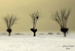 Tre gelsi (Gianni Armano) Tags: snow nature three photo foto nest natura piemonte neve tre nido plain gianni imagery alessandria mulberry pianura immagini gelsi armano levata