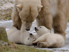 Polar bear with cubs (John van Beers) Tags: bear beer zoo cub polarbear pixel ijsbeer dierentuin nuenen dierenrijk welp noordje