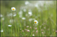 Wildflowers Cropped (greenthumb_38) Tags: canada flower reunion rockies canadian alberta wildflower 2012 canadianrockies jeffreybass august2012 moseankoreunion