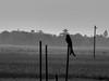 Black Drongo Silhouette (Ziaus Shams) Tags: bw white black bird silhouette asia king wildlife crow bangladesh drongo blackdrongo pakhi finge